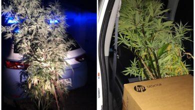 Photo of Terni, nasconde marijuana nel biliardino di un bar e a casa una serra alta due metri: denunciato 27enne